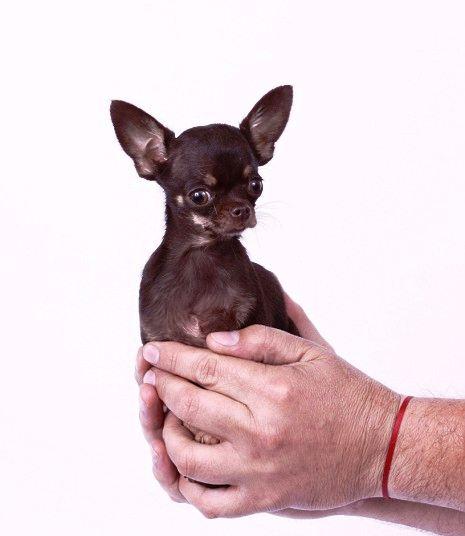 Najmanji pas na svetu Milly - zenka rase Chihuahua iz Portorika velika je samo 9,65 cm